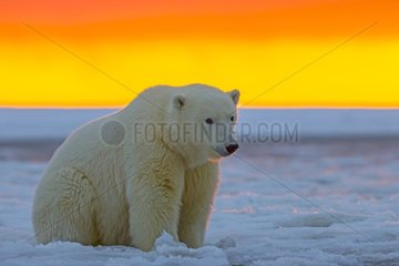 Polar bears at sunset - Barter Island Alaska
