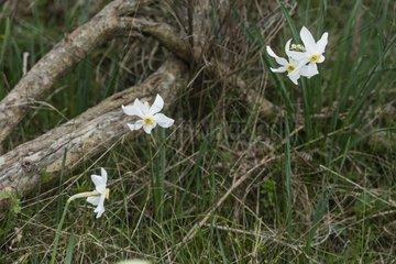 Poet's Daffodil flowers - Montseny NP Spain