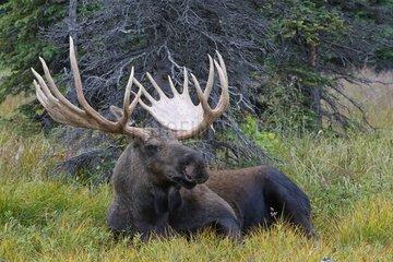 Male Moose lying down in tundra Anchorage Alaska