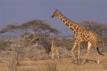 Reticulated giraffe and baby giraffe in the savanna Africa