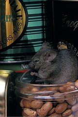 Common house mouse grooming in a cupboard France
