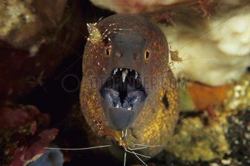 Yellowmargin Moray Eel being cleand by Shrimps Bali