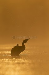 Great Crested Grebe swimming with chicks on the back - GB