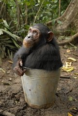 Young female Chimpanzee in a bucket Cameroun