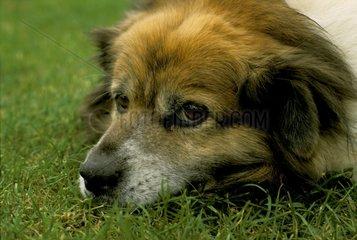Portrait de chien fatigué France