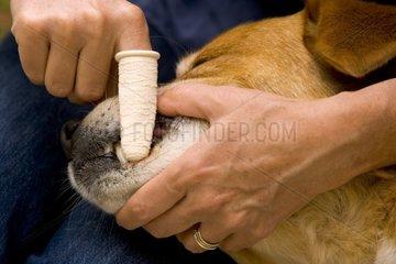 Nettoyage de dents d'un vieux chien France