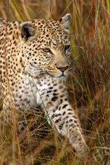 Leopard walking in the grass Jao Island Botswana Okavango