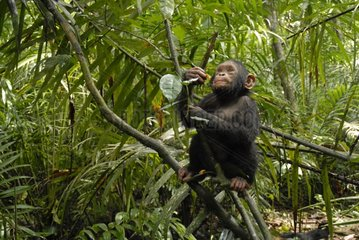 Young chimpanzee in tropical forest in rain season