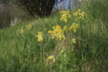 Cowslip primerose in bloom at spring France