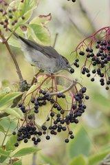 Blackcap eating berries Elderberry - France