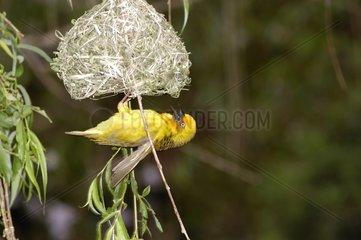 Tisserin du Cap mâle de retour au nid