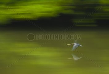 Darter in flight over water Danum Valley Borneo Malaysia