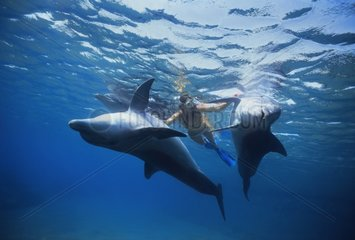 Dolphin trainer interacting with Bottlenose Dolphins Israel