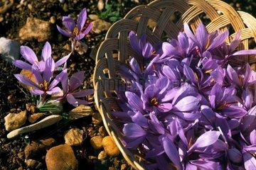 Collect Saffron flowers Quercy France