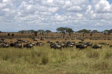 Migration of blue wildebeests in the savana Tanzania