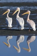 Great White Pelicans group with a pink plumage Namibia