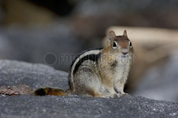 Golden-mantled Squirrel Sequoia NP USA