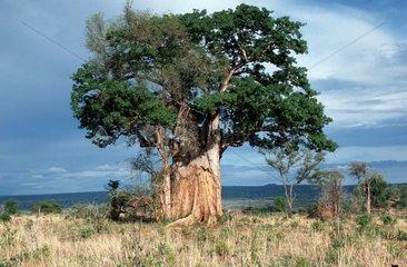Baobab éventré par un éléphant à Tarangire NP Tanzanie
