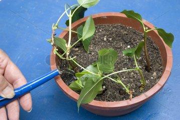 Propagation of hydrangea watering cuttings
