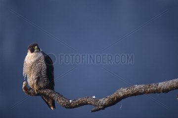 Faucon pèlerin femelle posée sur une branche le soir