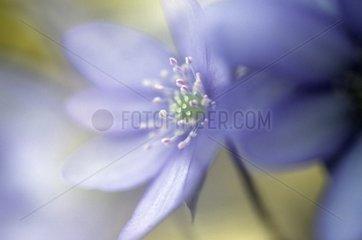 Flower of Hepatica Halle Germany