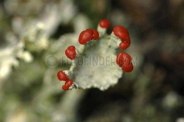 Reproductive organ of a Bengal Match Lichen