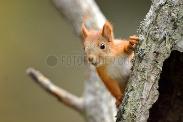 Red squirrel on a tree trunk - Finland