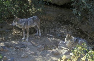 Two Mexican Wolves in captive breeding centre Mexico