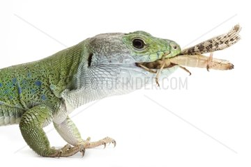 North African Ocellated Lizard on white background