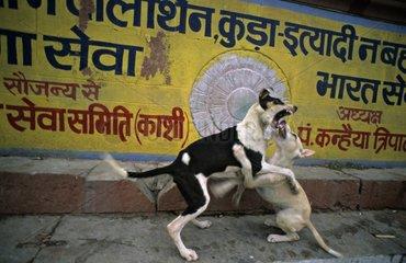 Dogs fighting in the streets Vârânaçî India