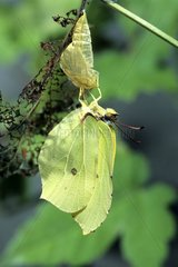Papillon Citron sortant de sa chrysalide  séchant ses ailes
