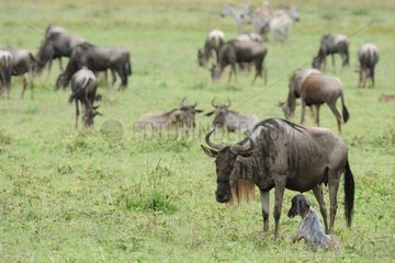 Blue wildebeest female just giving birth Tanzania