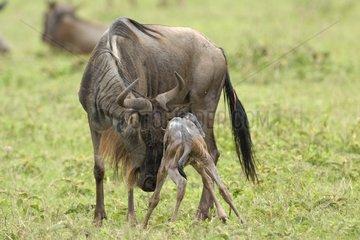 Blue wildebeest female raising its newborn Tanzania