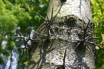 Spiny trunk of a Common Honeylocust Côtes-d'Armor France