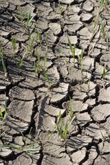 Cereal plantlets struggling to lift in cracked earth