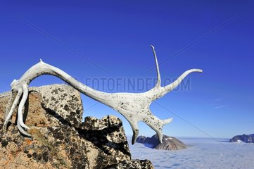 Antler on top of the Cape Hoegh in Greenland