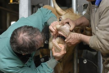 Rural veterinary surgeon examining the oral cavity of a cow