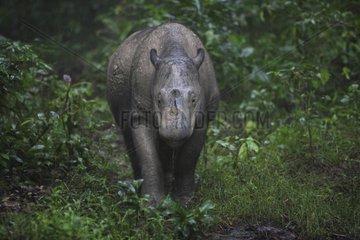 Sumatran rhinoceros in the rain Sumatra Indonesia