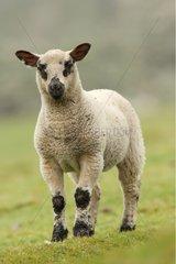 Portrait of a lamb in meadow Shetland