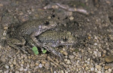 Midwife toads mating