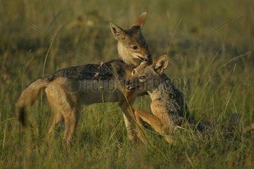 Deux Chacals à chabraque en train de jouer Masaï Mara Kenya
