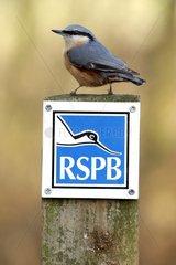 Wood Nuthatch on RSPB sign Midlands Britain UK