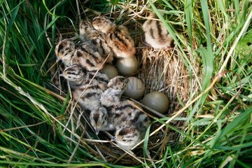 Hatching of ring-necked Pheasant chicks France