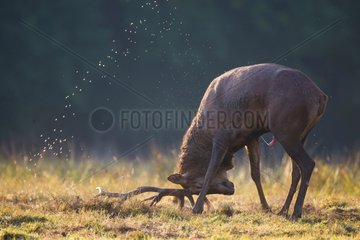 Male red deer splashed urine and sperm during bellow