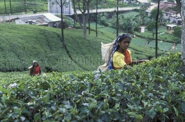 Women collecting the leaves of tea in Sri Lanka