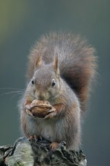 Eurasian red Squirrel eating a nut