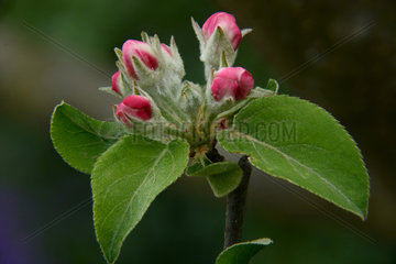 Common apple tree (Malus domestica) opening flowers  Ardeche  France