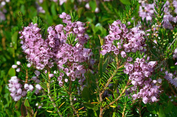 Cornish heath (Erica vagans)  Habitat: heaths on silica or limestone. Pyrenees  France