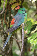 Red-rumped Parrot (Psephotus haematonotus) on a branch