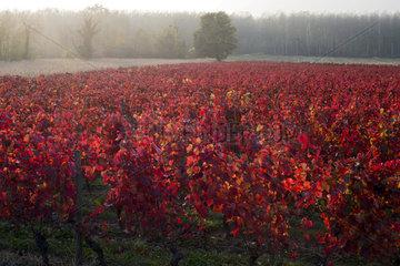 Chautagne vine (AOC vin de Savoie) in autumn  Savoie  France